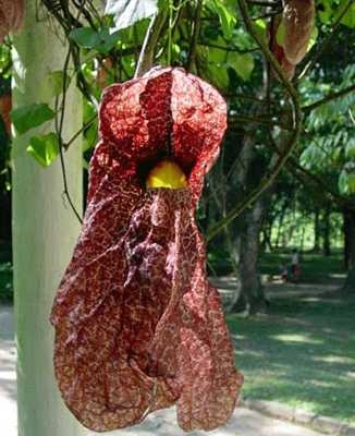 Top 10 plante care miros dezgustator (Galerie foto)